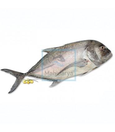 ماهی مقوا پرو
