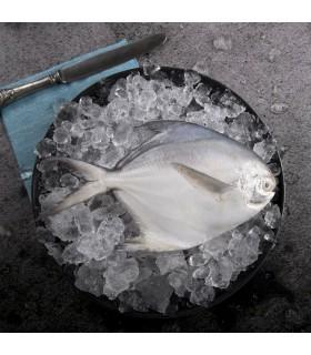 ماهی حلوا سفید (متوسط)