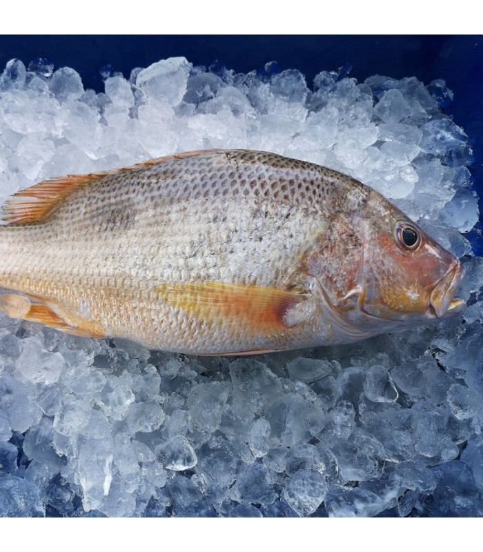 ماهی سرخوی معمولی