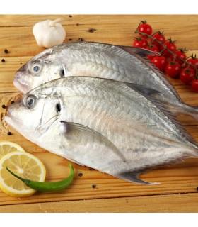 ماهی مقوا سفید