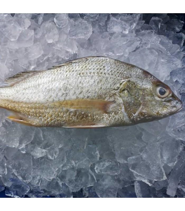 ماهی سنگسر