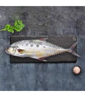 ماهی مقوا سلیمانی (سارم)
