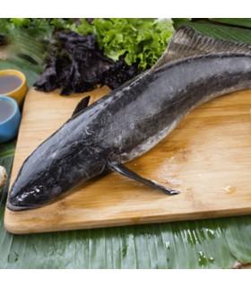 ماهی سوکلا (ماهی سکن)