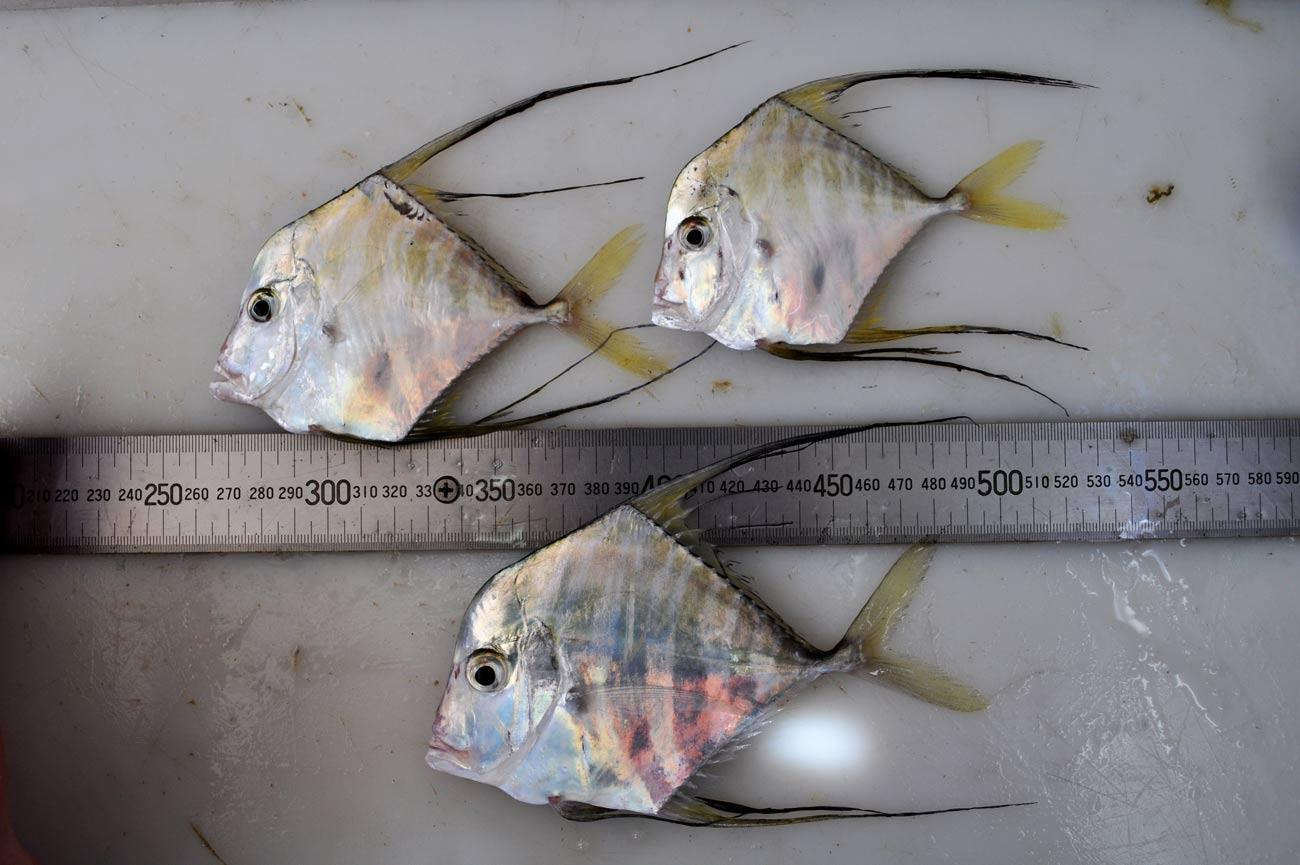 خرید ماهی مقوا سفید