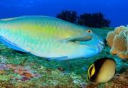 طوطی ماهی،طوطی یا ماهی؟!