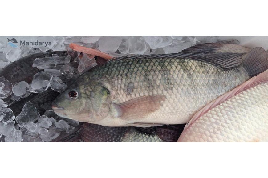 چرا مصرف ماهی تیلاپیا به ضرر انسان است ؟!