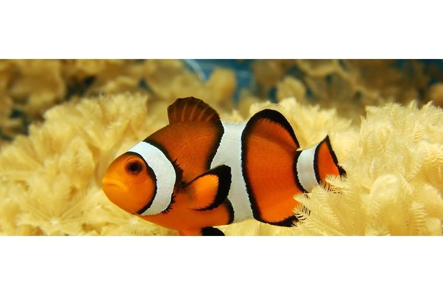 دلقک ماهی خلیج فارس