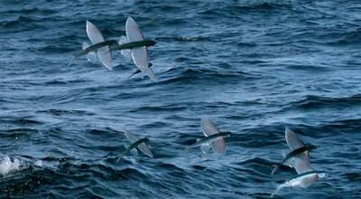 پرنده ماهی از عجایب خلیج فارس